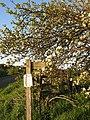 Apple blossom - geograph.org.uk - 467588.jpg
