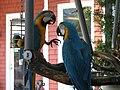 Ara ararauna -two captive -USA-6a.jpg