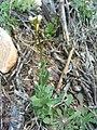 Arabis nova subsp. iberica Habitus 2009-4-16 DehesaBoyalPuertollano.jpg