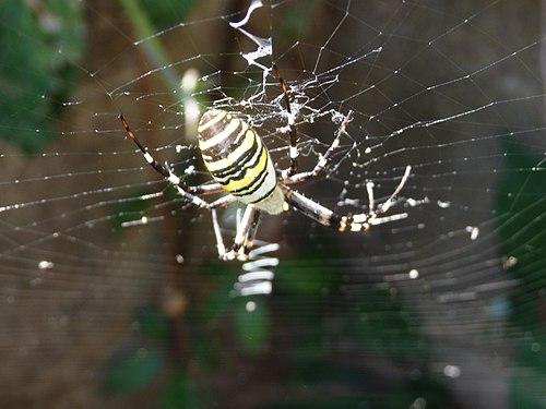 Araignée-tigre