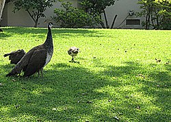 Peahen, a symbol of Arcadia, walking on a lawn in Arcadia