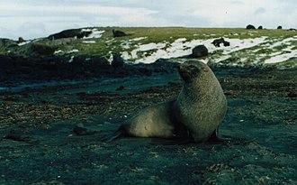 Antarctic fur seal - Male Antarctic fur seal on the Kerguelen Islands
