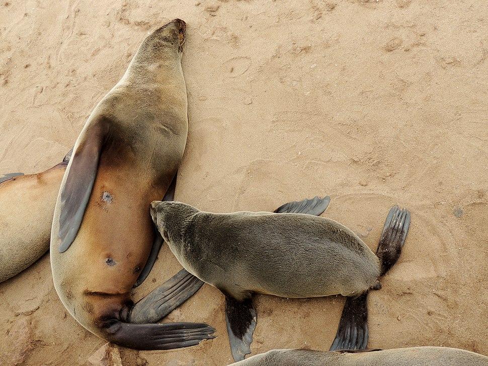 Arctocephalus pusillus 3 - Cape fur seal