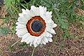 Arctotis fastuosa-IMG 6977.jpg