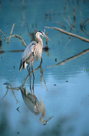 Green Bay National Wildlife Refuge - A great blue heron, one of the many migratory birds on the refuge