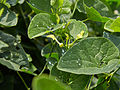 Aristolochia clematitis-IMG 9312.jpg