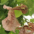 Aristolochia labiata-IMG 4603.jpg