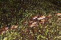Army Ants Genus- Eciton (11057740974).jpg
