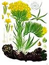 Arnebia densiflora - Köhler–s Medizinal-Pflanzen-220.jpg