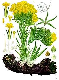 Arnebia densiflora - Köhler–s Medizinal-Pflanzen-220