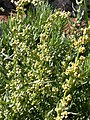 Artemisia michauxiana (5042593216).jpg