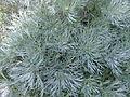 Artemisia schmidtiana Parc de Bercy.JPG