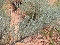 Artemisia tridentata kz17.jpg