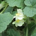 Asarina procumbens-IMG 1543.jpg