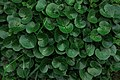 Asarum and Hosta plants near the Gridchinhall building (31278875241).jpg