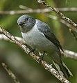 Ashy Cuckoo-Shrike - Andasibè - Madagascar S4E7706 (15102322539) (cropped).jpg