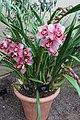 Asparagales - Cymbidium 'Loch Heilen' Hamsey - 1.jpg