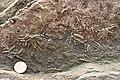 Asterolites - geograph.org.uk - 938509.jpg