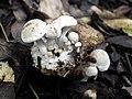 Asterophora lycoperdoides (Bull.) Ditmar 471013.jpg