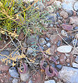 Astragalus amphioxys var amphioxys 1.jpg