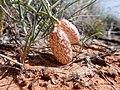 Astragalus ceramicus var. ceramicus.jpg