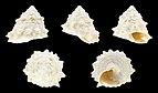 Astralium rhodostomum 01.JPG