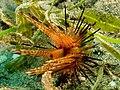 Astropyga radiata (Fire urchin).jpg