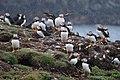 Atlantic Puffins (Fratercula arctica) - Elliston, Newfoundland 2019-08-13 (04).jpg