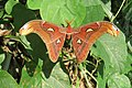 Attacus atlas - Atlas moth - at Peravoor (2).jpg