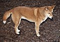 Australian Wild Dog-Dingo-1and (4620805983).jpg
