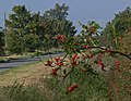 Autumn berries along Orston Lane - geograph.org.uk - 1013057.jpg