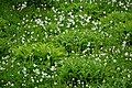 Avalanche lilies blooming along the Paradise Valley Road, July 24, 2020. The taller patches of leaves is false hellebore, also (7761969d-e263-4872-b820-2f7f92ddfc12).JPG