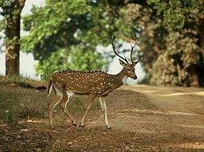 Axishirsch in Madhya Pradesh, Indien