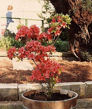 English: Azalea 'Hinodegiri' in full flower in...
