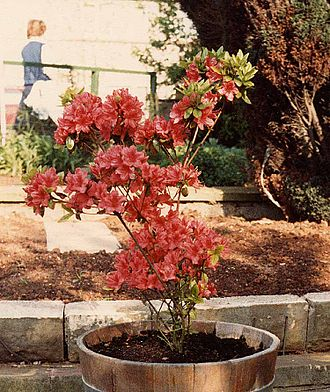 Azalea - Rhododendron 'Hinodegiri'
