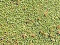 Azorella compacta (Llareta) - close up (48338317921).jpg