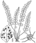BB-0025 Woodsia glabella.png