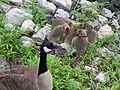 Baby Geese 02.jpg