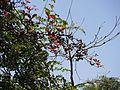 Baheda (Bengali- বহেড়া) (8630652795).jpg