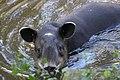 Baird's Tapir (Tapirus bairdii) captive specimen.jpg