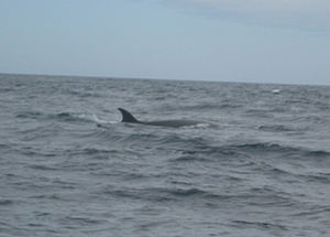 Sei whale - A sei whale showing distinctive upright dorsal fin