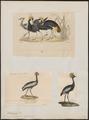 Balearica pavonina - 1700-1880 - Print - Iconographia Zoologica - Special Collections University of Amsterdam - UBA01 IZ17300131.tif