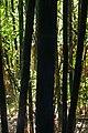 Bamboo (5038934562).jpg