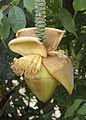 BananaFlowerInIllinois.jpg