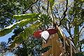 Bananenblüte CIMG2224.JPG