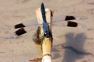 <i>Brachythemis leucosticta</i> species of insect