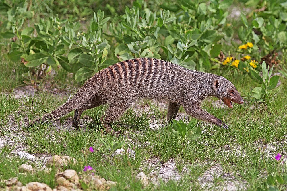 The average litter size of a Banded mongoose is 2