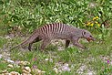 Banded mongoose (Mungos mungo).jpg