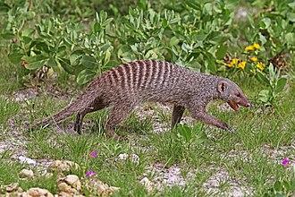 Mungos - Image: Banded mongoose (Mungos mungo)