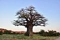 Baobab, Mapungubwe, Limpopo, South Africa (20544257105).jpg